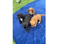 4 beautiful cockerpoo puppies