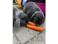 2 Grey Rabbits