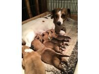 Jackahuahua puppies