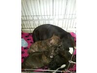 2males black brindle with white chest staffys 250 each