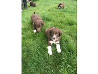 Beautiful Brown & White Border Collie Pups