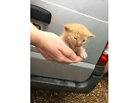 ginger male kitten ready to reserve for 14-10-16