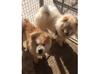 beautiful female and male chow chow for sale
