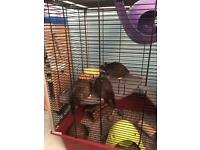 selling 3 rats with all equipment needed!