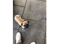 Beautiful 4 months pug puppy for sale