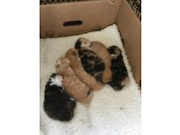 Adorable British short haired / Persian cross kittens for sale