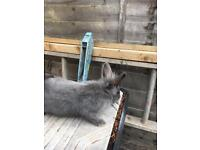 Baby females rabbits for sale