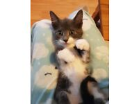 Beautiful Grey and white 9 weeks old female kitten.