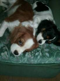 Cavalier king charles pupies