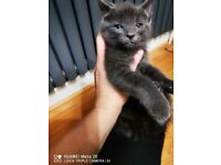 russian blue kittens for sale, black and white, grey, tabby tortie