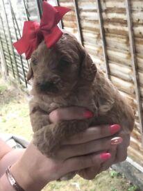 red labdoddle puppies