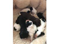 Stunning Sprocker Spaniel Pups Puppies