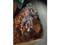 3 African fat tail geckos