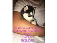 7 BEAUTIFUL SIBERIAN HUSKY PUPPIES 2 SOLD!!!