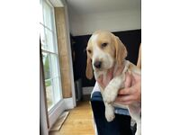 Chubby beagle/ hound pups for sale