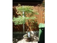 Japanese maple,Acer' Dissectum'specimen tree 6ft6inches high x5ft spread in glazed pot
