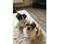 SHIH-TZU PUPPIES FOR SALE READY NOW