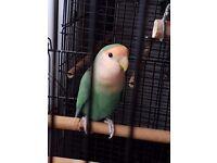 Cockatiel tropical love bird and cage