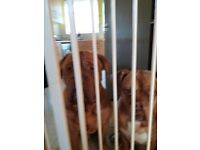 Two Dogue de Bordeaux Free to good home