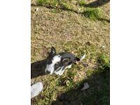 collie pup 10 weeks old