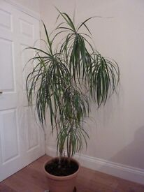 Madagascar Dragon Tree plant - Evergreen indoor shrub in very good condition