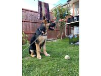 7 Months German Shepherd — SELLING —