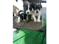 Mini Jack Russell Puppies
