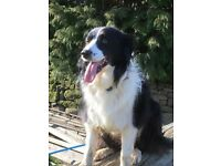Border Collie Missing Please Help Find Her