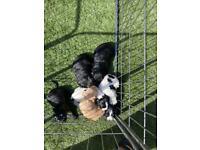 F1B Cockerpoo puppies READY NOW