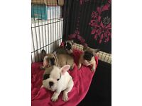 READY NOW KC REG FRENCH BULLDOG PUPPY'S