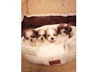 Shih-Tzu teddy bear puppys