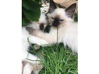GCCF REGISTERED Full Pedigree Ragdoll Kittens
