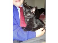 Gorgeous Russian Blue X Kittens for sale