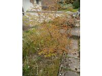 Red Acer Tree for Sale