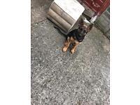 Kc registered pure pedigree german shepherd puppy