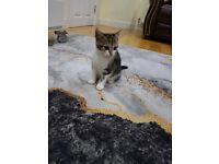 10 week old Tabby x Mainecoon Kitten