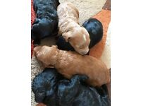 Cockerpoo pups for sale ready to leave mum 4th march