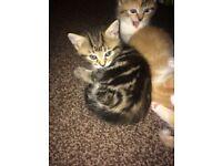 Bengal cross kittens