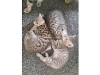 Bengal kittens. Only 1 left a boy!