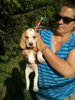 Fox hound puppies