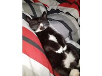 9 week old black and white male kitten