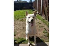 Husky x German shepherd