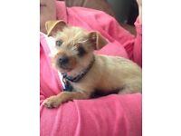 8 week Chihuahua Miniature Yorkie Puppy