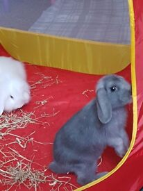 Two Beautiful Female Rabbits For Sale