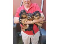 Two yorkie pups for sale one male the other is a female