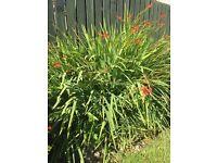 Crocosmia - coppertips plants