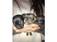 Tea cup Chihuahua pups/puppies