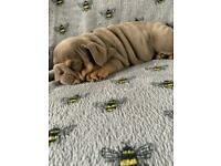 KC registered English bulldog puppies, lilac tri