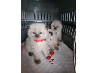 Ragdoll seal point kittens