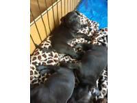 Staff x dog du bordeaux puppies